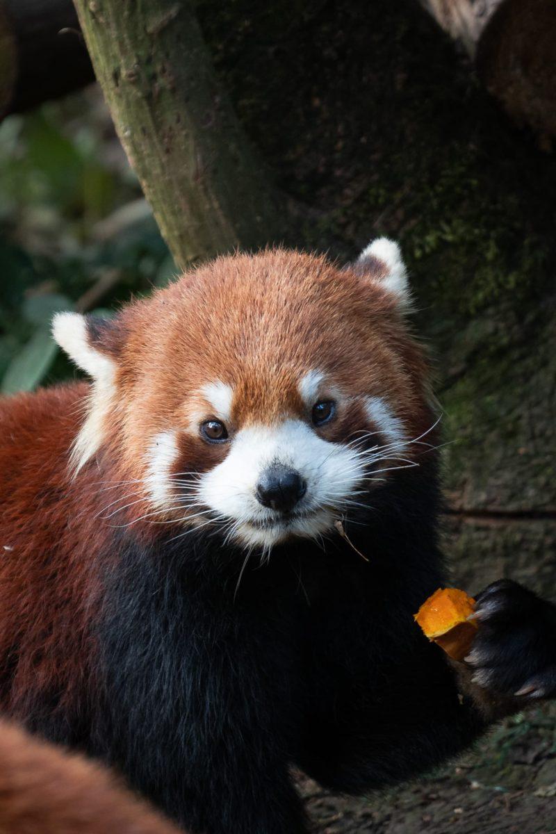 red panda Chengdu
