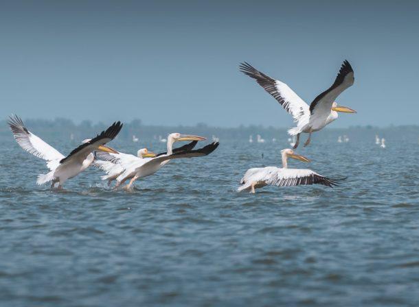 wild pelicans romania