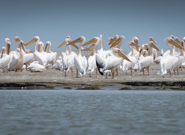wild pelicans danube delta